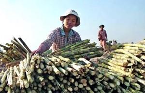 受制度制约 缅甸国内制糖业发展缓慢