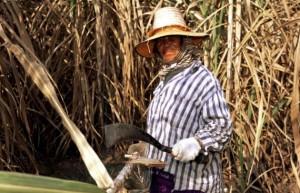 泰国本榨季将提前收榨 截至2月12日甘蔗减产23%