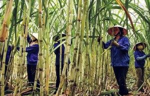 """越南对泰国蔗糖发起""""双反""""调查"""