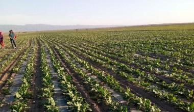 北方甜菜开榨了! 内蒙古、新疆已有糖厂开启新榨季生产