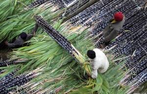 新华社:印度2020—21年糖产量有望增加12%