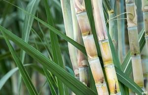 云南已有45家糖厂收榨 今日现货糖价报高 截至5月底产销率46%