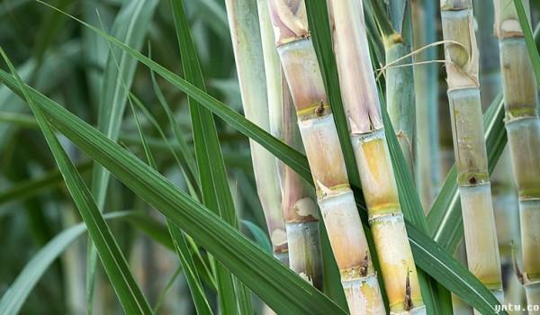 截至6月底广西食糖产销率69.25% 同比增0.58%