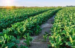 内蒙古《覆膜甜菜高产优质高效栽培技术规程》等7项地方标准(征求意见稿)