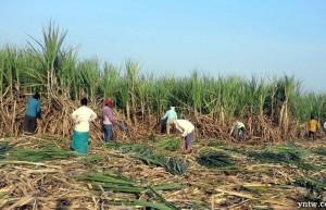 印度2020/21榨季食糖产量预估下调至3020万吨