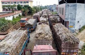 广西已有16家糖厂开榨 约占开榨糖厂总数的五分之一