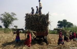 截至2月15日印度产糖2089万吨 同比增长23%